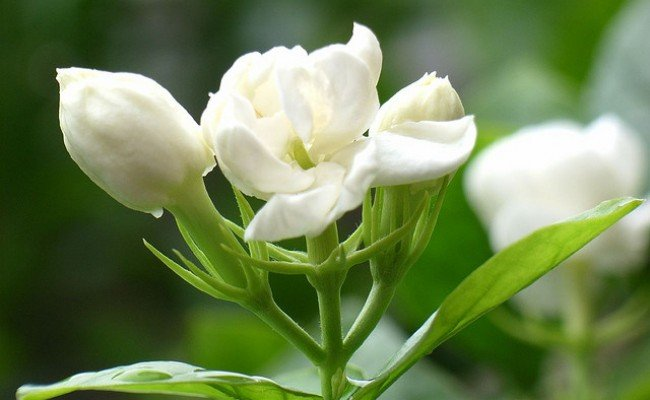Hoa nhài chữa yếu sinh lý